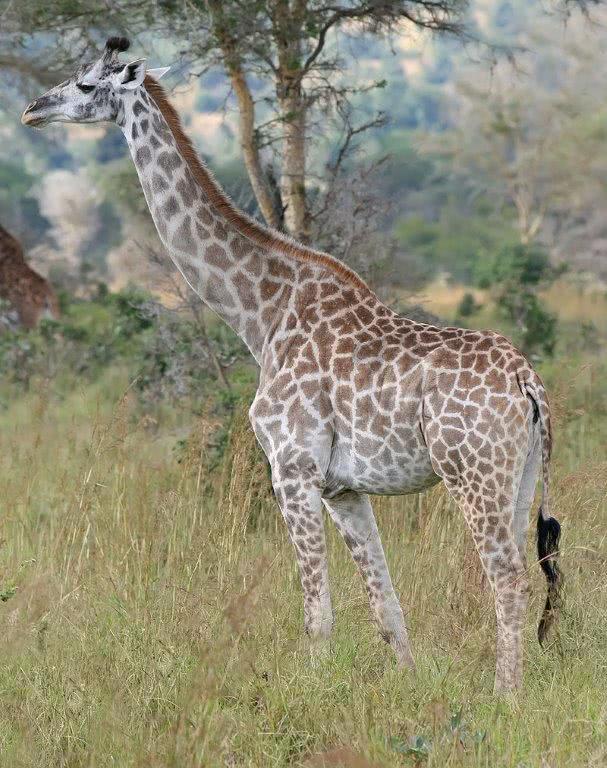 Africa's largest - Giraffe